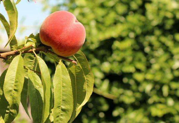 A Budaörsi őszibarack sajátos érzékszervi jellemzői az intenzív illat, az aromaanyagokban gazdag, zamatos íz, amelyre jellemző, hogy a telt édes íz citromosan üde savassággal párosul, továbbá az érzékszervileg észlelhető leveses állományú gyümölcshús - képünk illusztráció