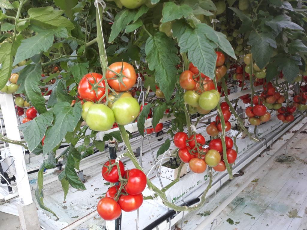 Megjelent a kertészeti üzemek megújítását támogató pályázati felhívás - Fotó: Magro.hu, CSZS, Szentes