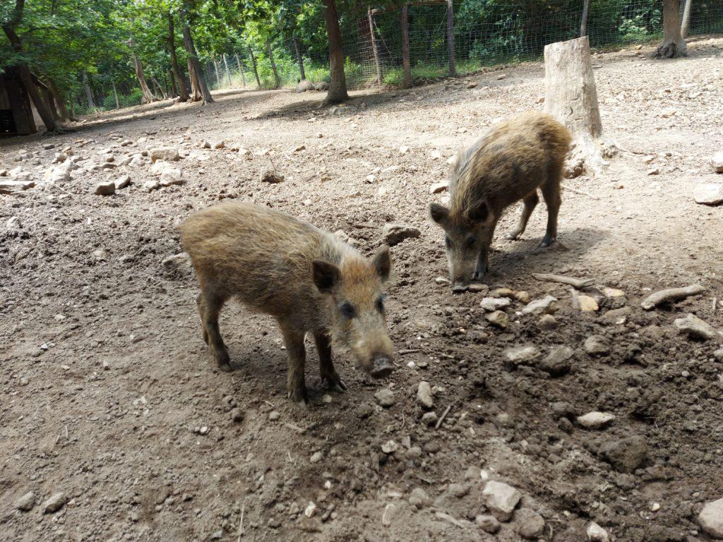 Fellépés és intézkedések az afrikai sertéspestis ellen: megalakult a vaddisznóállomány-gyérítés tervezését segítő tanácsadói hálózat - Fotó: Magro.hu, CSZS, Budakeszi