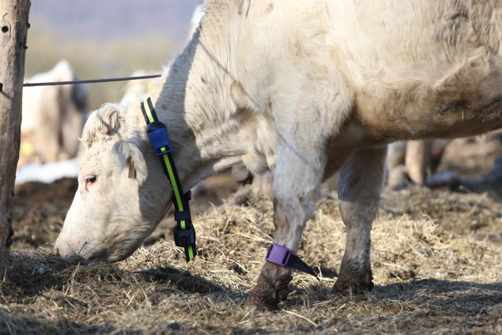 Modern állattenyésztési gyakorlat az Ökológiai Mezőgazdasági Kutatóintézetek nyílt napján - Fotó: ÖMKi