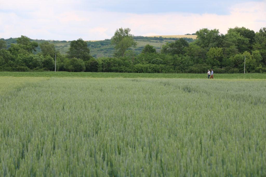 Ökológiai gazdálkodással termesztett gabona - Fotó: ÖMKi