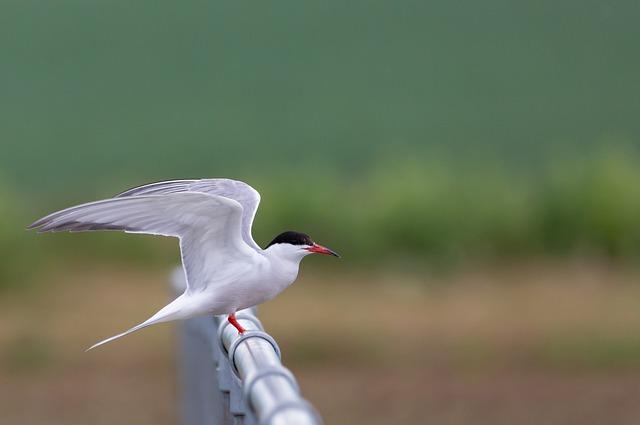 Több ezer madár fiókája nem kelhetett ki egy drónbaleset miatt - Képünk illusztráció, küszvágó csér