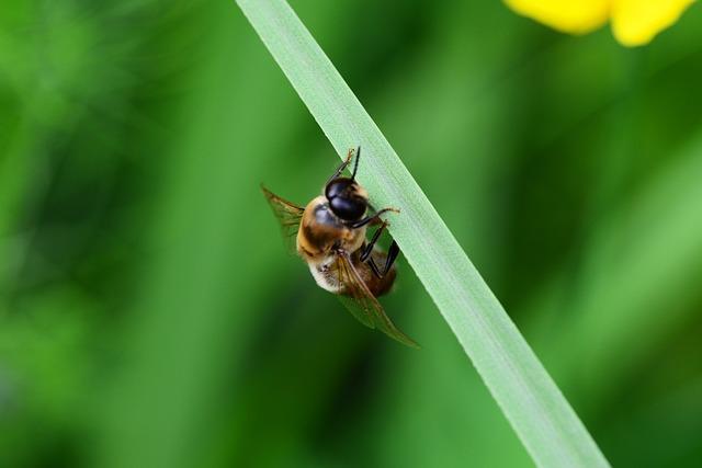 A a méhek és a drónok közös munkája segíthet az aknák felkeresésében