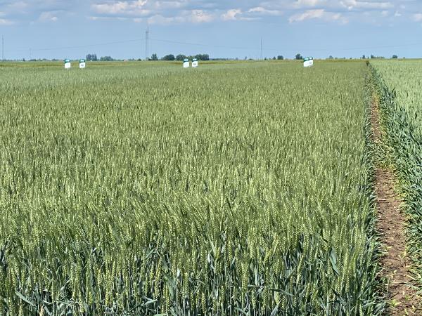 Idén is elindultak a GOSZ-VSZT-NAK búza, kukorica, repce fajtakísérletek - Fotó: Magro.hu, BT, Nádudvar