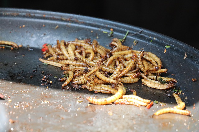 A közönséges lisztbogár lárvája, a lisztkukac 2021. júniusától az Európai Unióban is legálisan kerülhet serpenyőbe