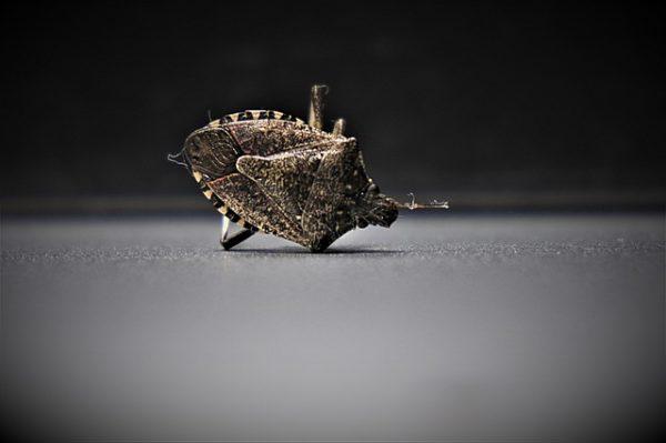 Szívogatásuk során emésztőnedveket fecskendeznek be, amelyek aztán barna, elhalásos foltokat hoznak létre a termésen