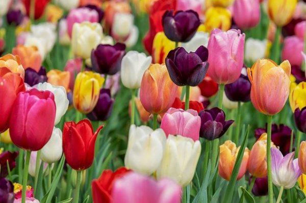 A tulipánvírus az egyik legveszélyesebb: esetében vagy csökött növények jönnek elő, vagy a megfelelő méretű növény levelei néznek ki úgy, mintha csiga rágta volna