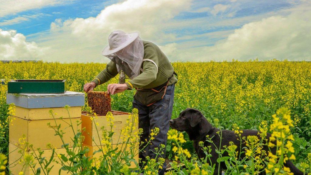 A repceméz azokról a gyönyörűen sárgálló mezőkről származik, amelyek tavasszal élénkítik főként alföldi tájainkat