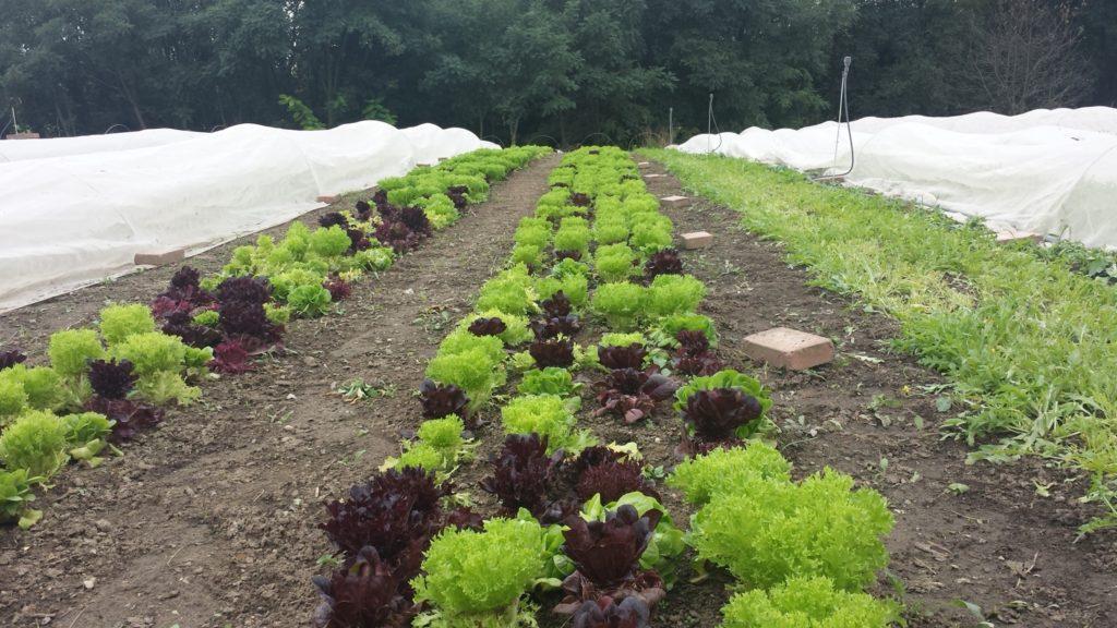 Rengeteget lehet spórolni a saját kerti zöldségek termesztésével - Fotó: Magro.hu, CSZS, Veresegyház