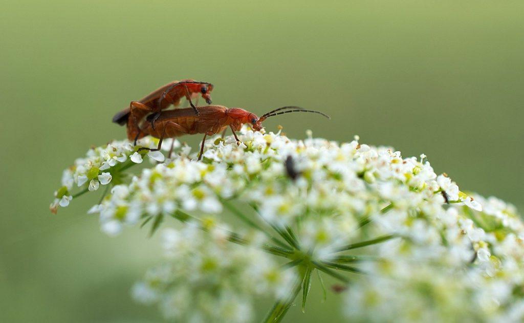 Ez a faj Észak-Amerikából származik, és már Európában is megjelent, stabil populációja Észak-Olaszországban, Milánó környékén alakult ki
