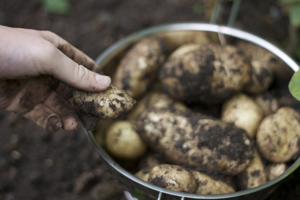 Az előzetes becslések szerint a várható termés az utolsó öt év átlagához hasonló, azaz 52 millió tonna, de ez 5,4 százalékkal alacsonyabb a tavalyinál