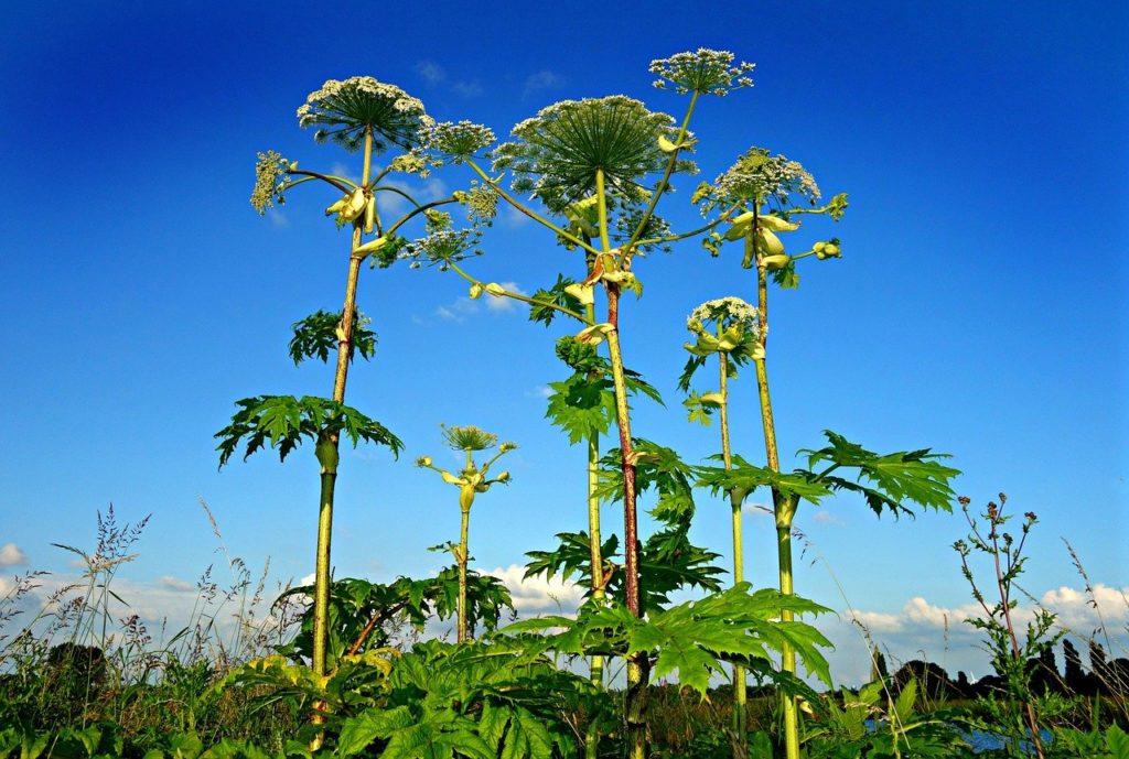 A megyék többségében már generatív stádiumú, virágbimbós fejlettségű egyedeket is lehet találni (1-30%-os arányban)