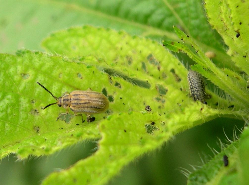 A parlagfű olajosbogár (Ophraella communa) imágója és lárvája - Fotó: Wikipedia, közkincs
