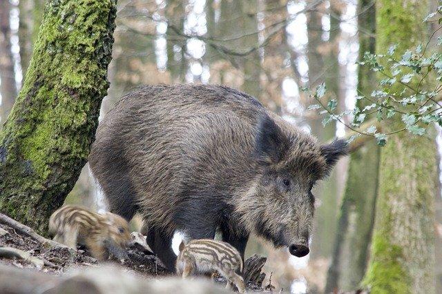 Országos hálózat alakult a hazai vaddisznóállomány gyérítésének támogatására