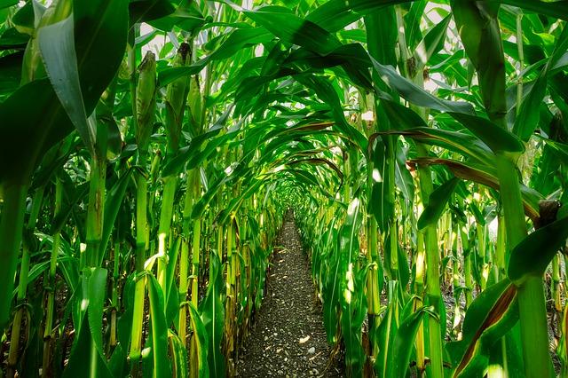 A kukoricabogár károsításának megelőzéséért és csökkentéséért többféle megoldást is érdemes alkalmazni - képünk illusztráció