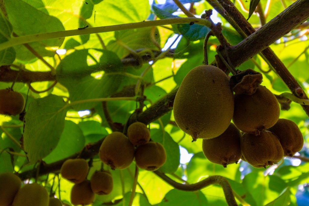 Ha egy fa jól van metszve, és eléri a termő kort, képes 100 kiló termést is adni, ami egészen 25 éves koráig gazdaságos