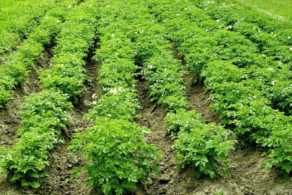 A megzöldült burgonyának már annyira magas a szolanintartalma, hogy egyeseknél hasmenést, hányást, fejfájást és más egyéb betegségeket is okozhat
