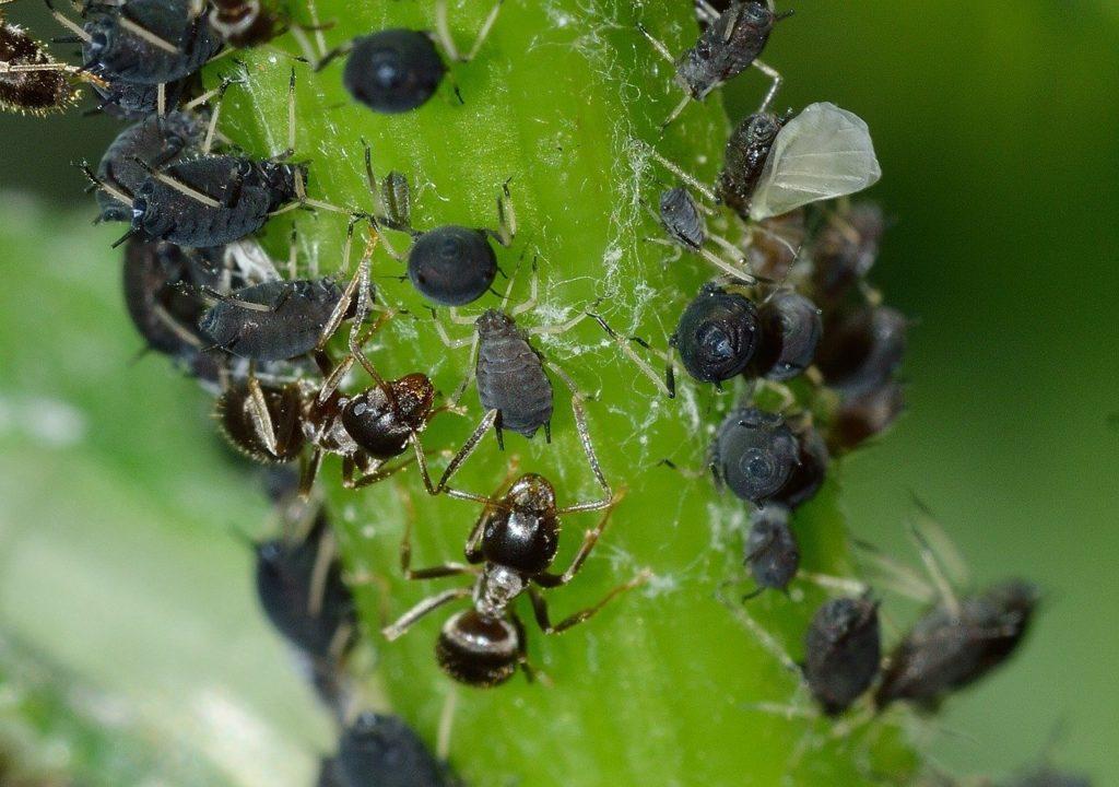 A megtámadott növényeken nagy számban megjelennek a hangyák, amelyek a levéltetvek által kiválasztott mézharmatért cserébe védelmezik a kártevőket