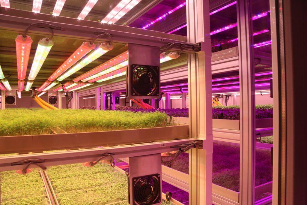 Több másik kutatás mellett azt is vizsgálják az újpesti vertikális farmon, hogyan növeli a mesterséges fény a takarmánynövények előállításának hatékonyságát
