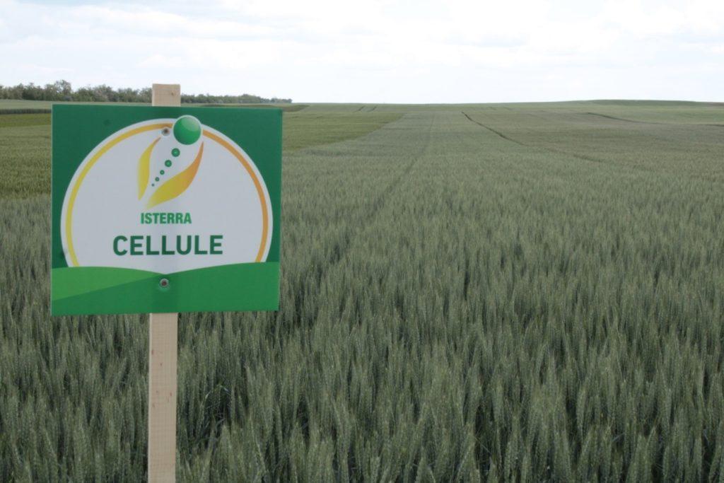 Hagyományosan jó eredményt ért el a régóta köztermesztésben lévő piacvezető fajta, a Cellule, amely a 11 tonnás hektáronkénti hozamot is meghaladta