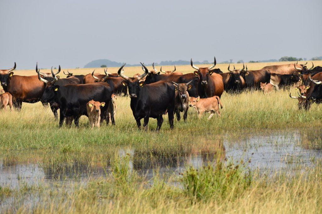 Mezőgazdasági művelés nélküli területen él az őstulok állomány a Hortobágyon - Fotó: Csobán Péter - Pentezugi Rezervátum, Hortobágyi Nemzeti Park Igazgatóság