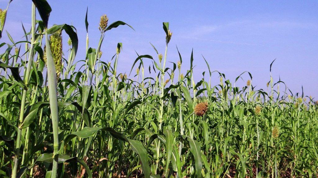 Nagy termés várható tőle, jók a beltartalmi értékei, és alacsony a tannintartalma
