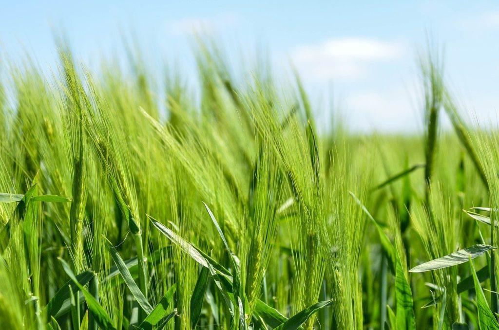 Az árpa teljes helyettesítése zabbal az étrendi nyerszsír koncentrációjának és bevitelének lineáris növekedését eredményezte