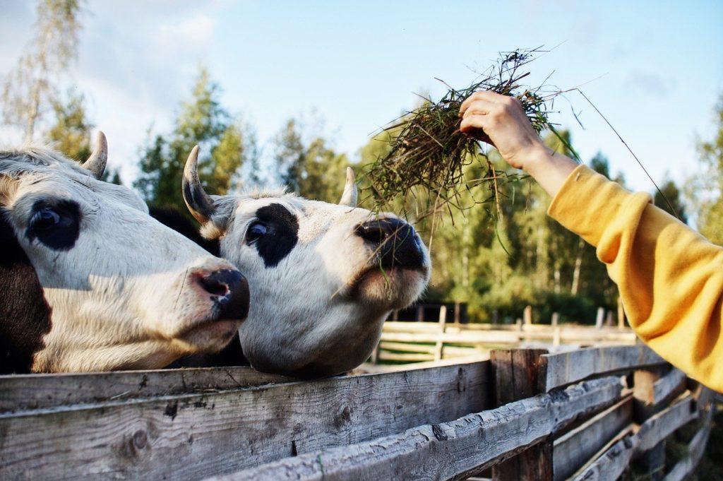 Termelési tanulmányok azt találták, hogy az árpa zabbal való helyettesítése a tejhozamot ugyanazon a szinten tartja