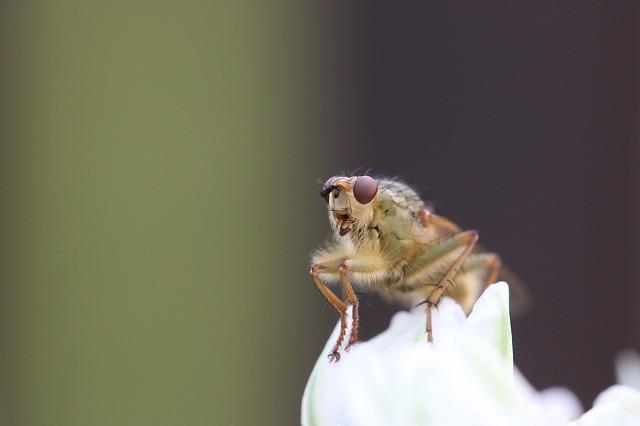 A termés 80-100 százalékát is elpusztíthatja a magyar gyümölcsösökben egy új muslicafaj, amely 2012-ben jelent meg hazánkban - képünk illusztráció