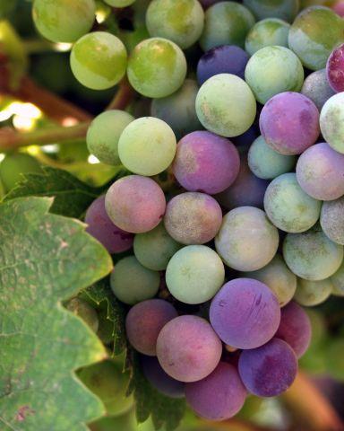 Eladó borszőlő 100 q fotó