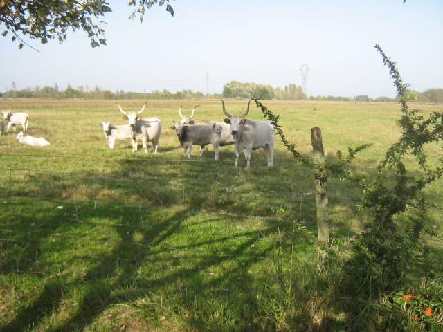 Eladó tehén szürkemarha 10 db fotó