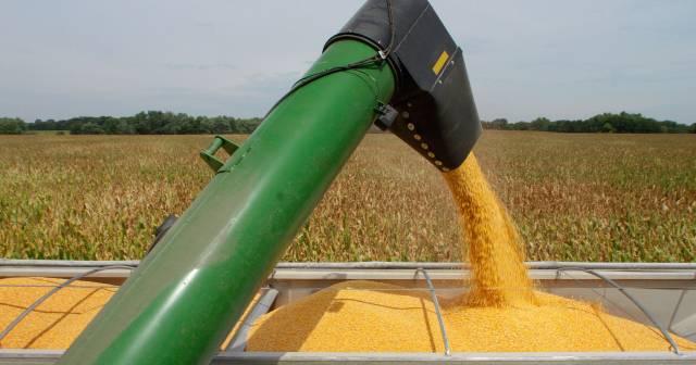 Eladó kukorica 15 t fotó