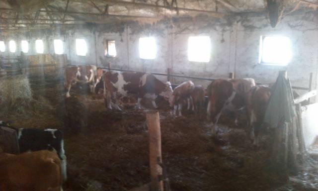 Eladó szarvasmarha tehén 8 db fotó