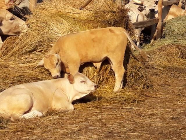 Eladó szarvasmarha borjú 4 db fotó