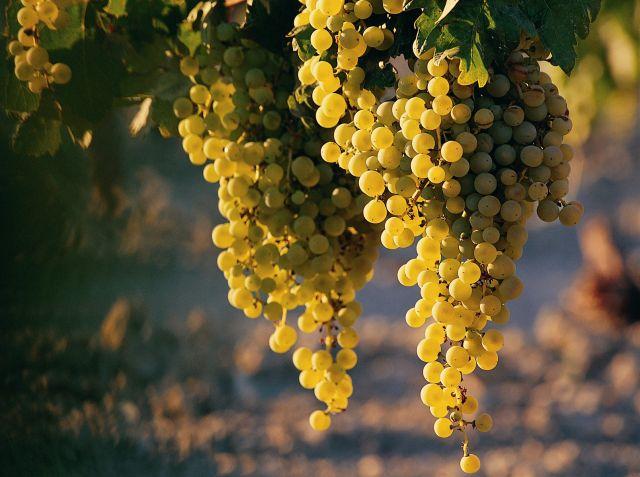 Eladó borszőlő 15 q fotó