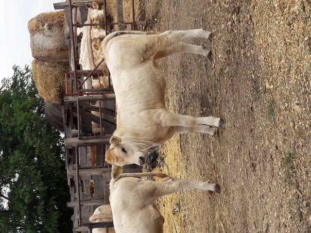 Eladó szarvasmarha borjú 3 db fotó