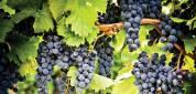 Eladó kékszőlő