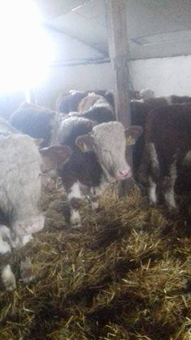 Még több szarvasmarha borjú vásárlás
