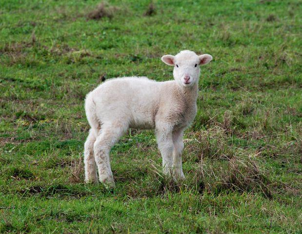 Eladó bárány juh 8 db fotó