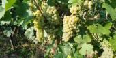 Eladó borszőlő
